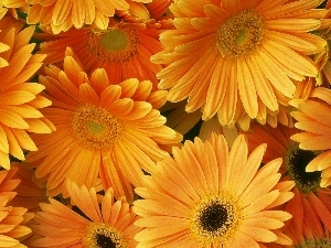 Flowers, gerberas, Orange