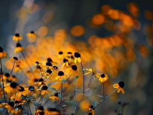glamour, Rudbeckia, Yellow, Flowers