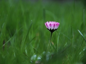 grass, flakes, daisy, Pink