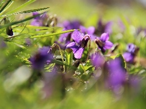 grass, Spring, fragrant violets