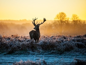 frosted, grass, deer