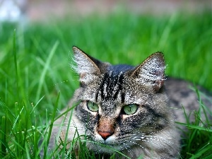 grass, ##, Gray, cat