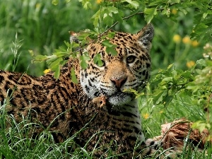 grass, Jaguar