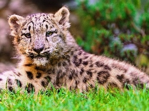 snow leopard, grass, young