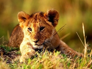 lion, grass, young