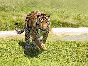 stream, grass, tiger