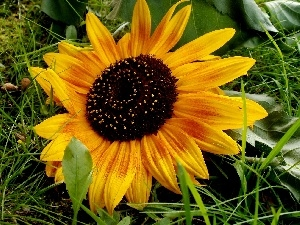 Yellow, grass, Sunflower