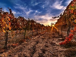 vineyard, Great Sunsets