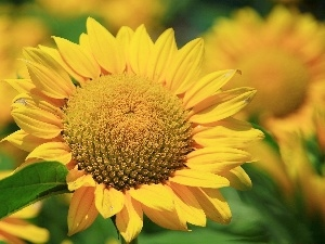Green, flakes, Nice sunflowers, leaf, Yellow