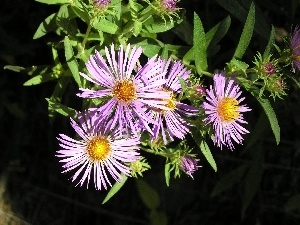 green ones, leaves, Aster