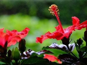 hibiscus, Red