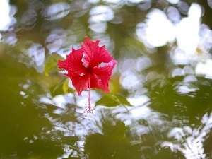 hibiscus, Colourfull Flowers, water, reflection