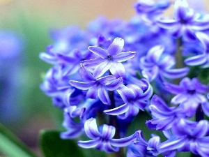hyacinth, Colourfull Flowers, blue