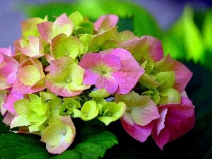 hydrangea, Coloured