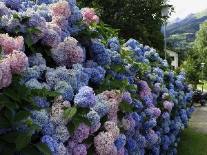 Flowers, hydrangeas, Bush