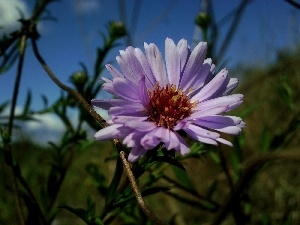 inflorescence, Aster