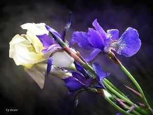 Blue, Irises, Yellow