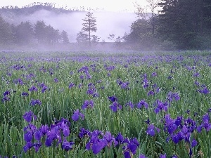 Irises, Blue, Meadow, Fog