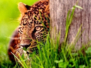 Jaguar, Head, trees, grass