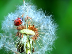 Common Dandelion, ladybird