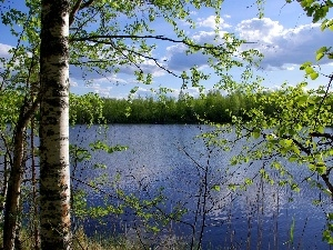 lake, birch, trees, viewes