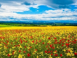 papavers, landscape, Meadow