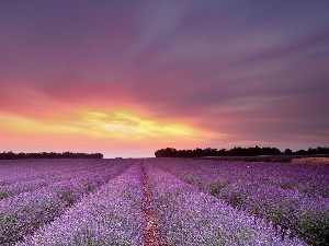 lavender, Great Sunsets, Field