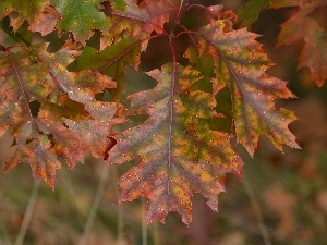 Autumn, Leaf, oak