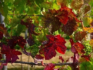 color, Leaf, Grapes