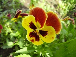 Leaf, stems, color, pansy