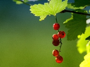 Leaf, currants