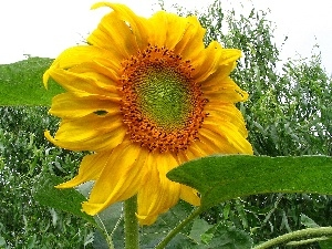 decorated, Leaf, Sunflower