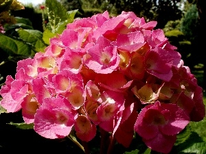 Leaf, Pink, Colourfull Flowers, Garden, hydrangea