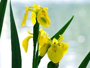 iris, Leaf, Yellow