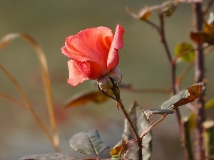 rose, Leaf, Bush