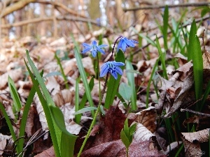Leaf, Flowers, Siberian squill, Spring, Blue