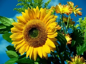 Flowers, leaves, Sunflower