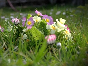 grass, ligh, sun, luminosity, flash, Meadow, Primrose, Spring, daisies