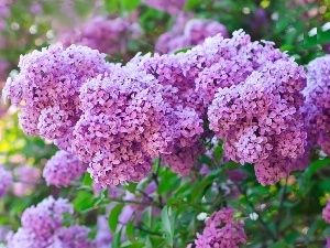 lilac, Flowers