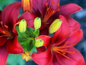 Lily, Claret