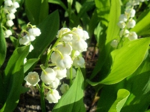 lily of the Valley, Beauty