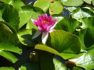 water-lily, Pink