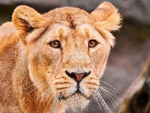 lioness, head