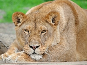 Lioness, Resting