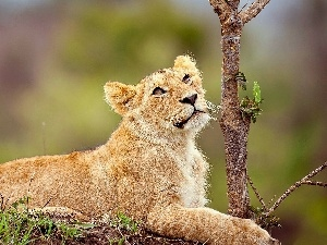Lioness, small