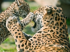 little doggies, play, leopardess