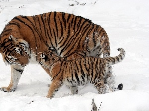 little doggies, snow, tigress