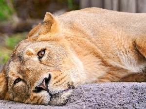 The look, Lioness