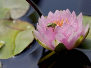 frog, water-lily, Colourfull Flowers
