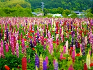 color, lupine, Meadow